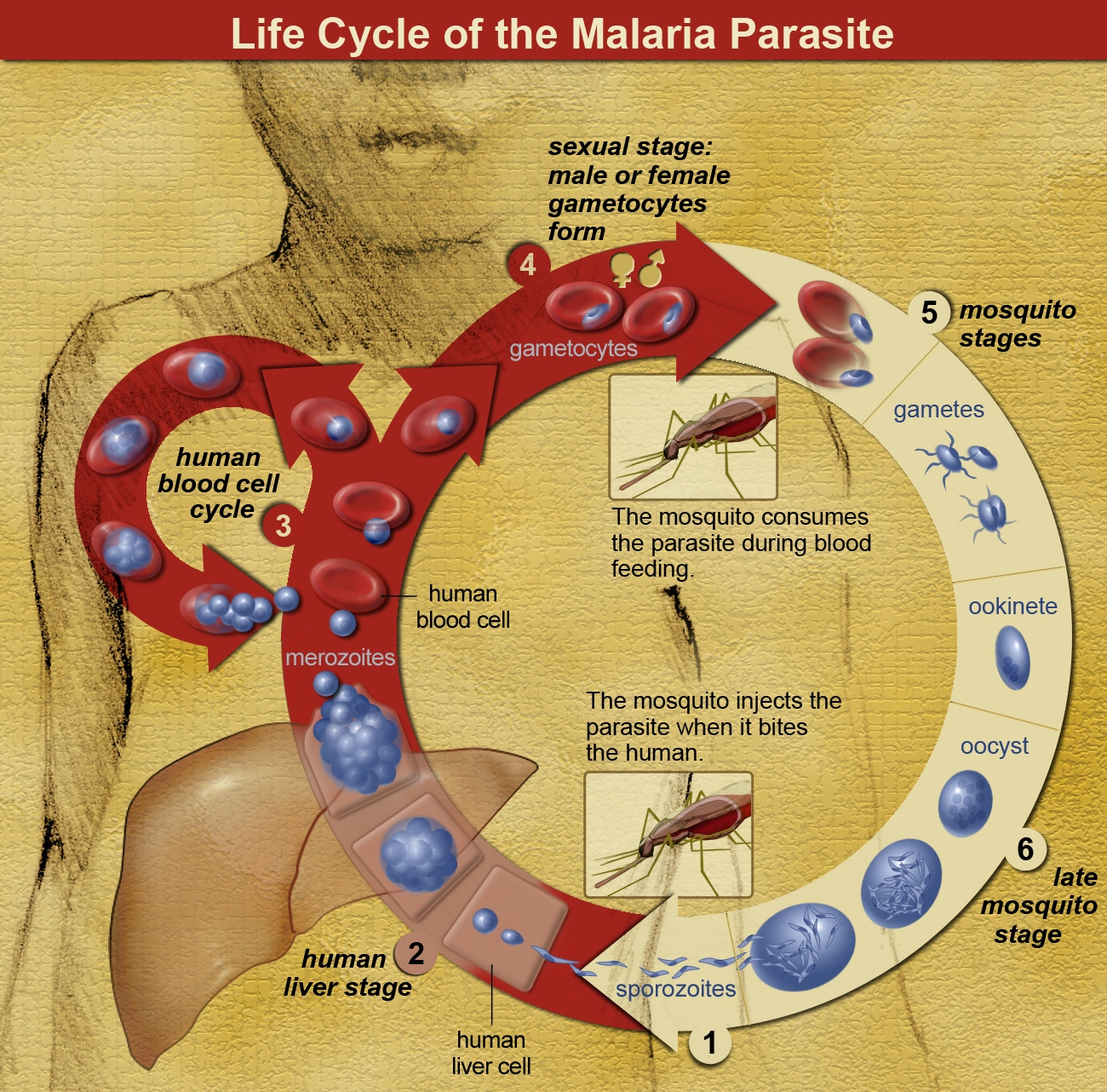 Malaria, Life Cycle of the Malaria Parasite
